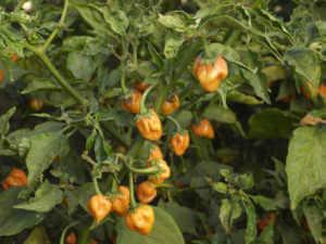 harvest habanero