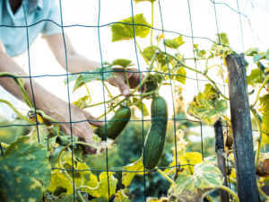 harvest zucchini