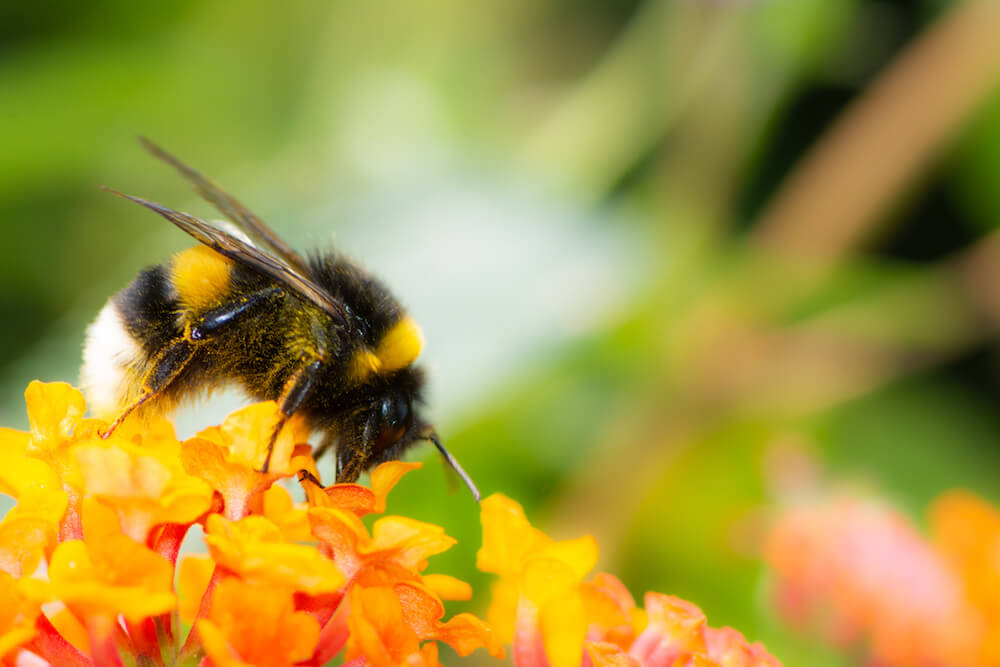 Macro of a Northern white-tailed bumblebee (Bombus magnus) on a lantana flower (Macro of a Northern white-tailed bumblebee