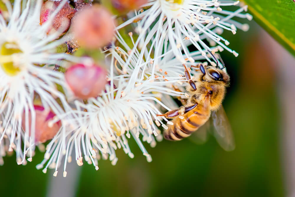 Honey bee collecting pollen in the Australian bush
