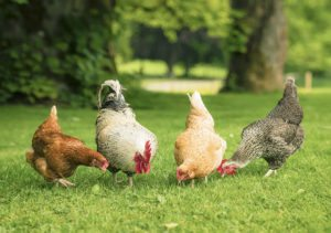 A group of three free range hens and a cockerel foraging for food in summer grass.