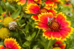 Bee on a flower Gaillardia aristata