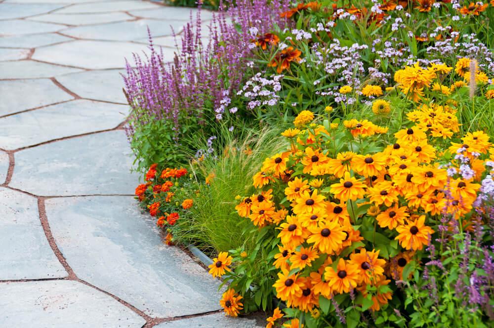 Gloriosa daisies lining a walkway.