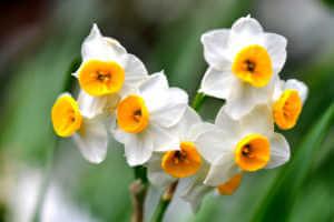 A vigorous, multi-flowering strain with several stems per bulb, fragrant Narcissus tazetta