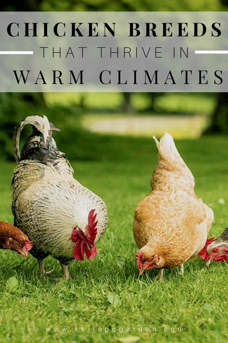 "Chickens eating in the grass with text, ""Chickens that thrive in warm climates"""