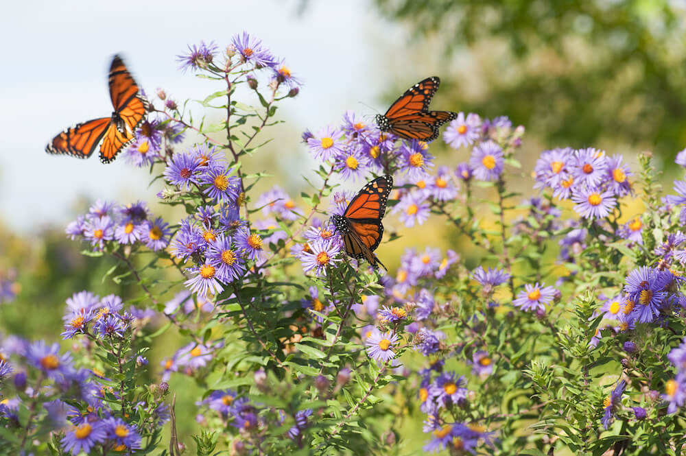 Several monarch butterflies feeding on wild asters.