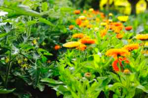 Calendula and Tomato Plants