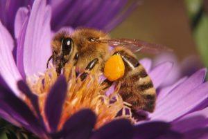 Bee on blue chrysanthemum with pollen on tarsus
