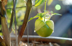 Tomatillo growing on a tree.
