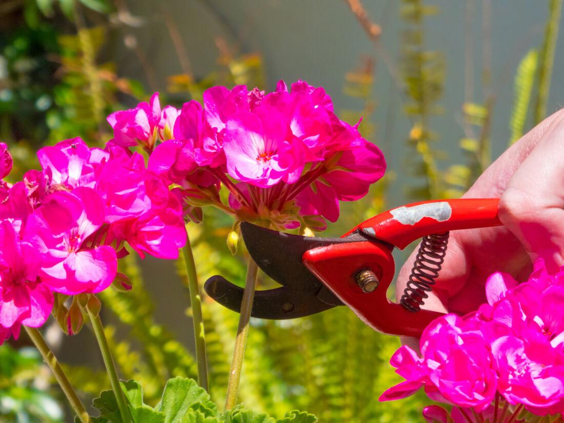 geranium pruning