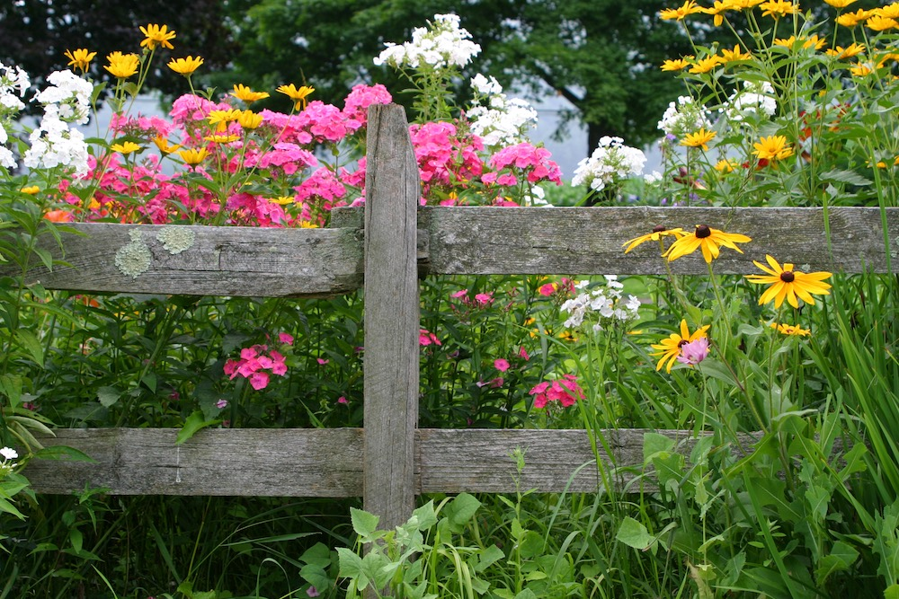 Flowers growing along fence in a garden.