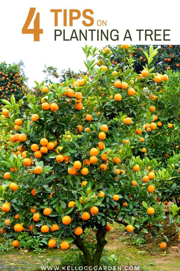 "Orange tree with text, ""4 Tips on planting a tree"""