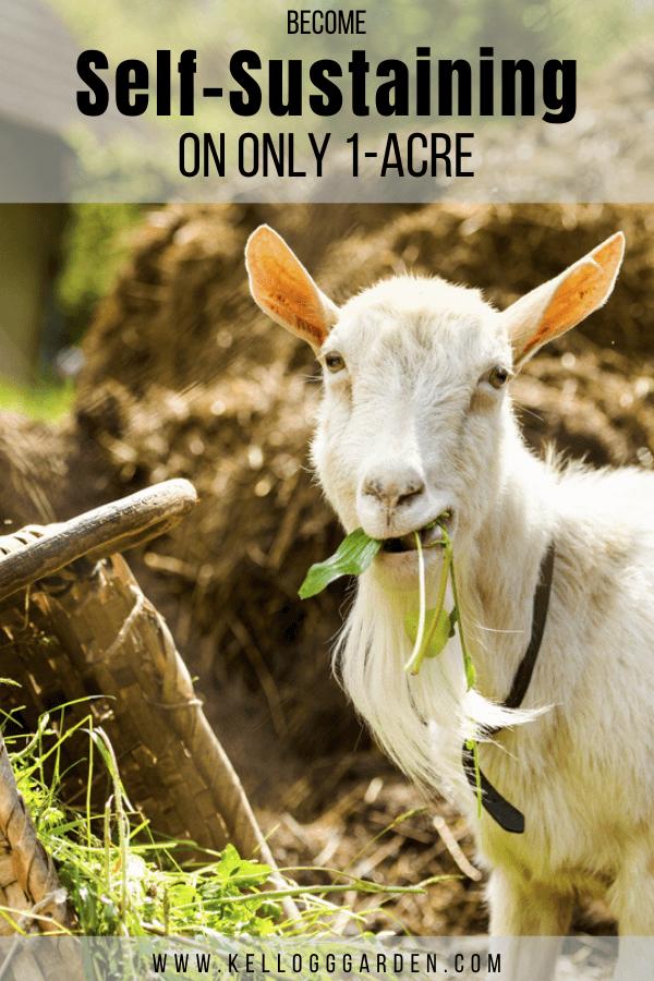 Cute goat eating