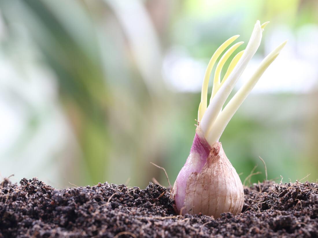 planting shallots