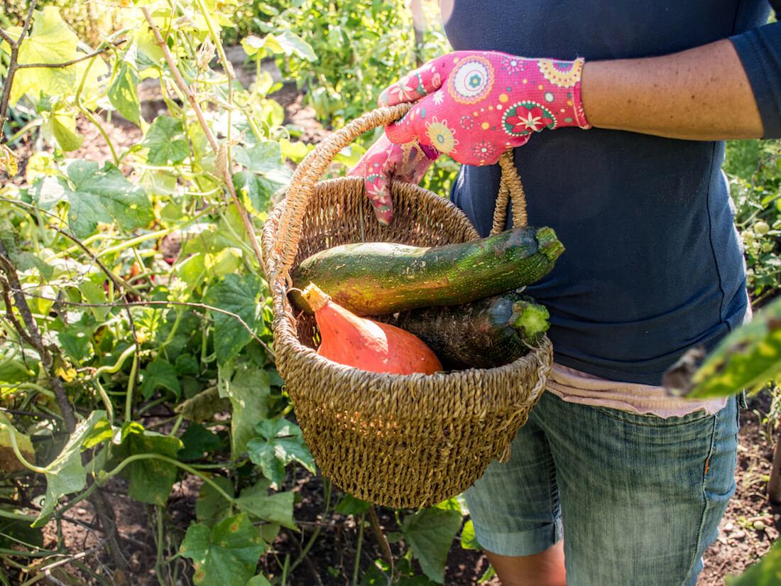 harvesting squash