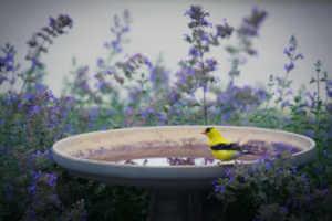 Birdbath with Goldfinch