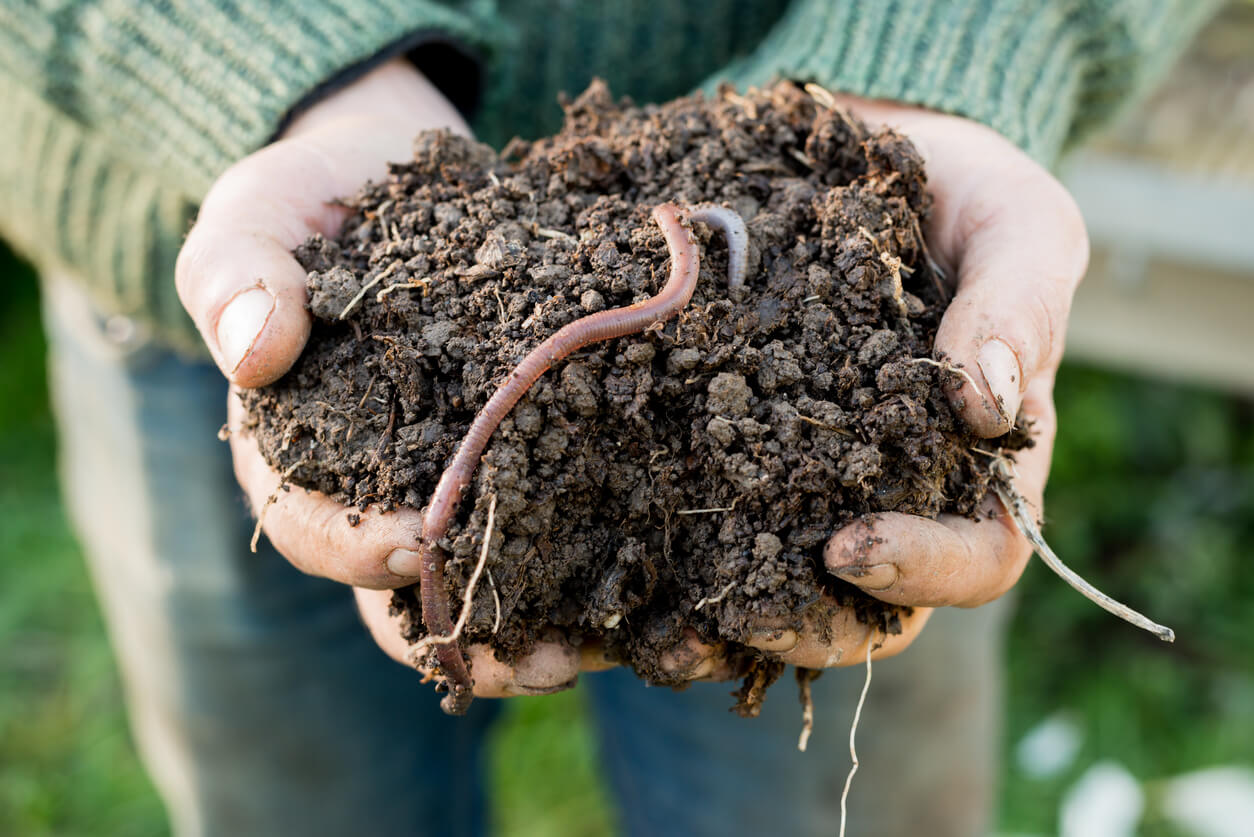 Earthworms in composted soil