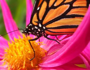Monarch butterfly on a bright pink flower.