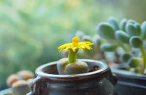 A succulent with a yellow flower