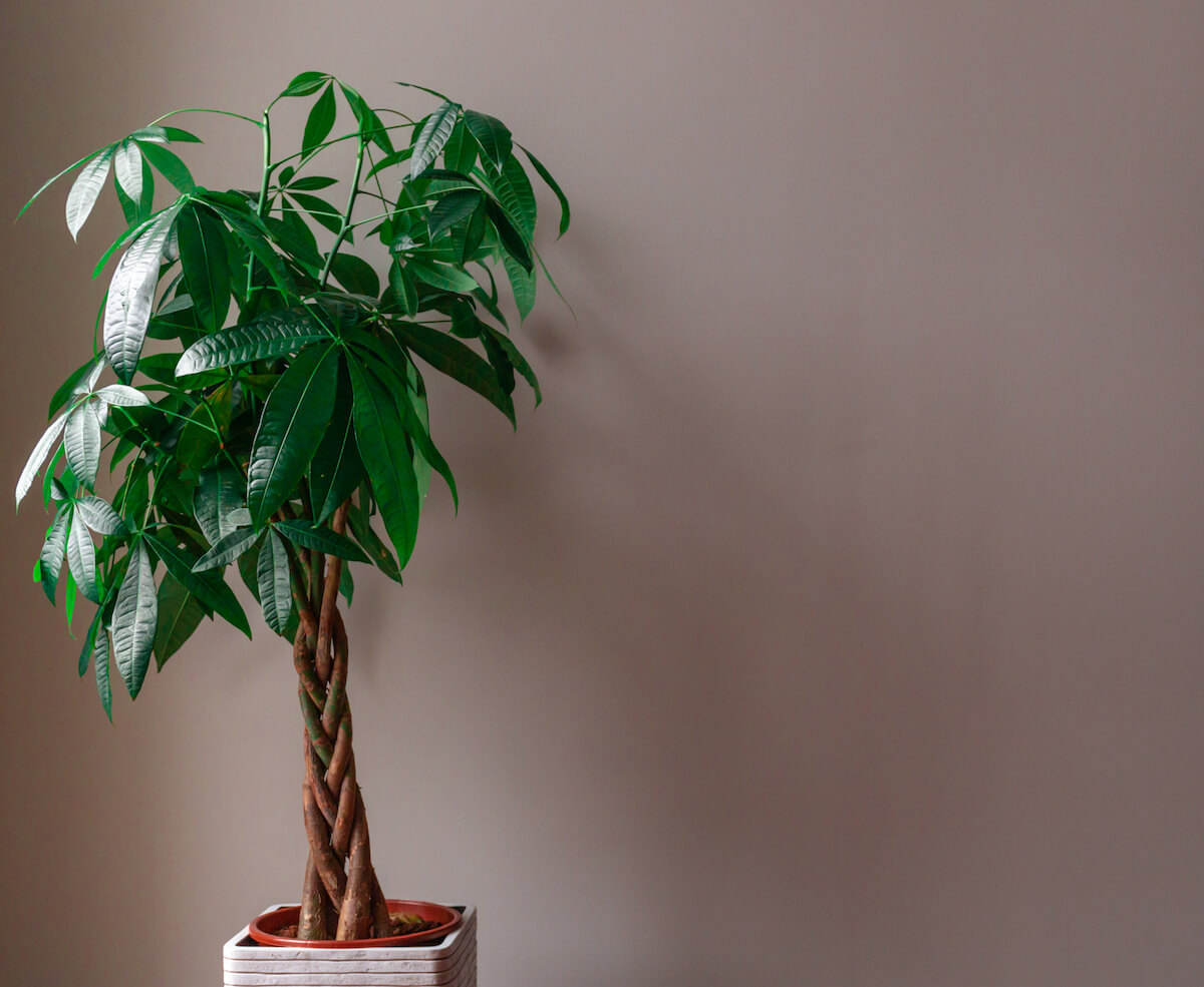 Wide Shot of a Money Tree against a Grey Background