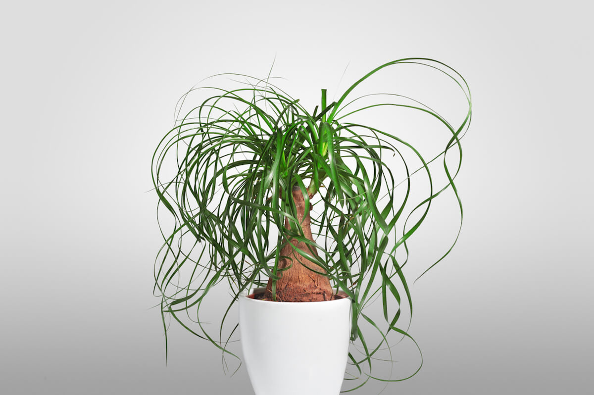 Isolated close-up of picture of an evergreen houseplant in a white pot