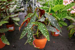 Begonia maculata in flowerpot in greenhouse.