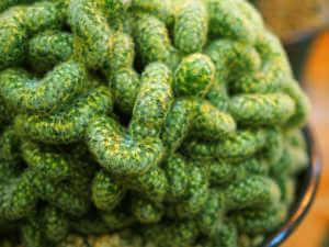 Close up of a brain-like cactus