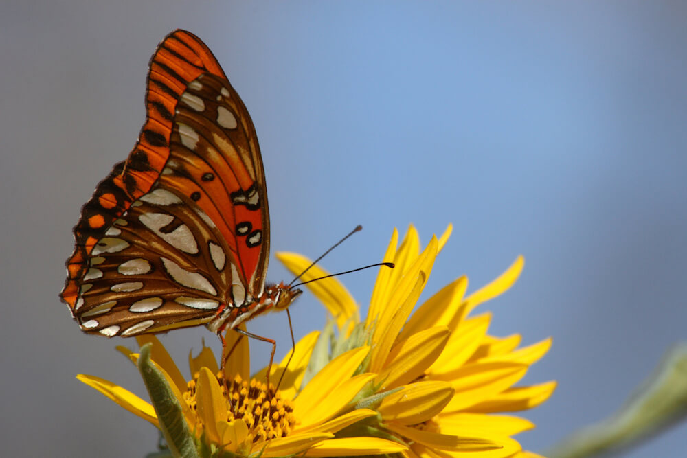 Gulf fritillary butterfly on a yellow flower.