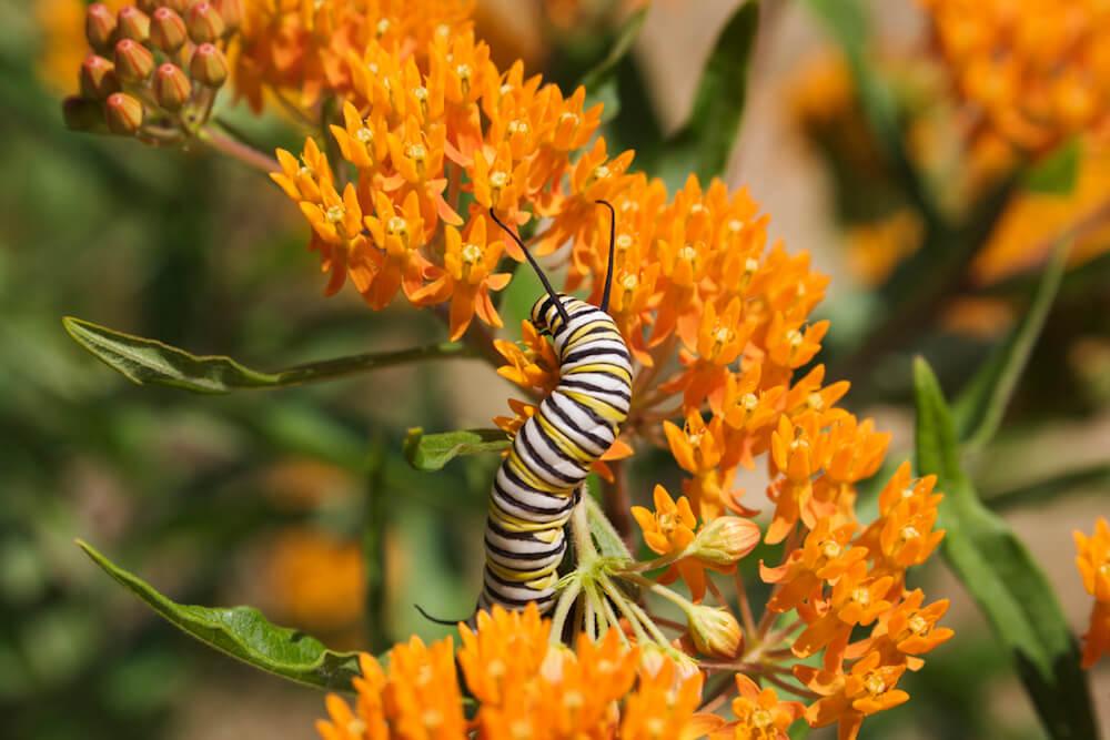Monarch Caterpillar on orange Milkweed