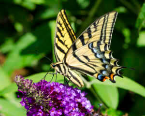 Yellow swallowtail butterfly on purple flower.