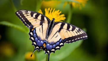 Tiger Swallowtail Butterfly sitting on a yellow flower.