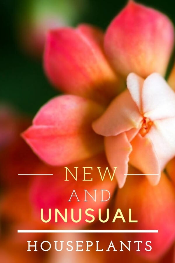 """Pink budding succulent with text, """"New and unusual houseplants"""""""
