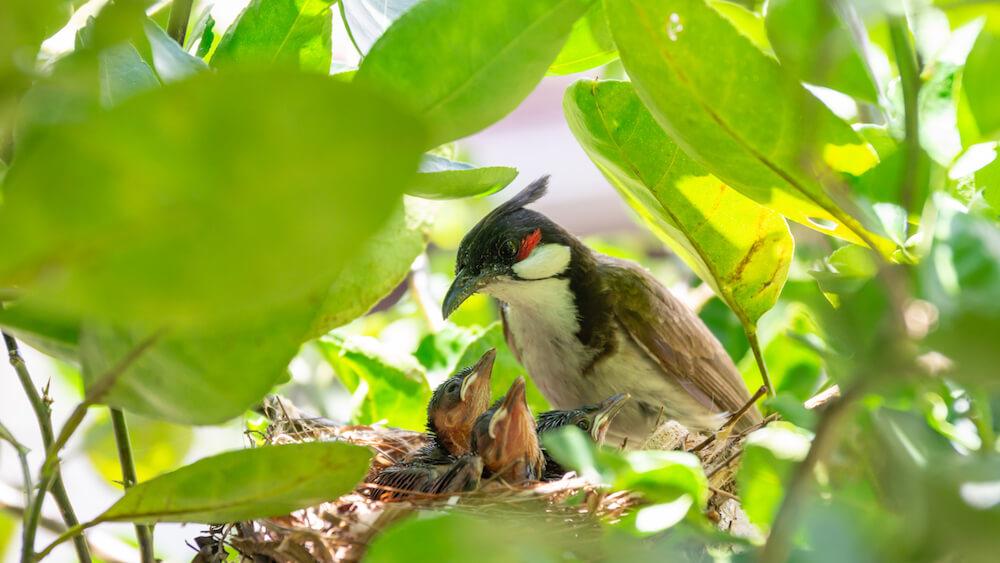 Little red-whiskered bulbul (Pycnonotus jocosus) bird living in a bird's nest. (Little red-whiskered bulbul