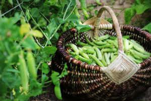 Harvest of green peas in basket