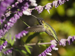 Hummingbird feeding on Mexican sage. Very little motion blur in wings. Shallow depth-of-field.