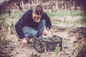 Female farmer harvesting green radicchio on a winter field. Outdoors horizontal color image. Copy space.