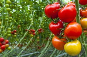 red, yellow, orange, tomatoes on a vine