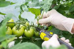woman pruning tomato plant