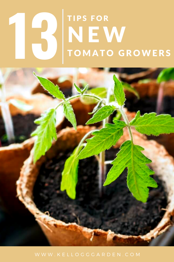 tomato seedling in a peat pot pin image