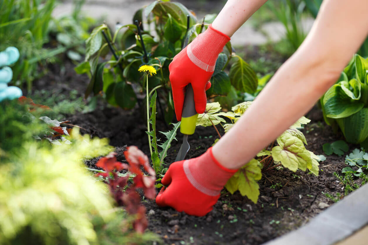 Hands pulling weeds with a tool in the garden