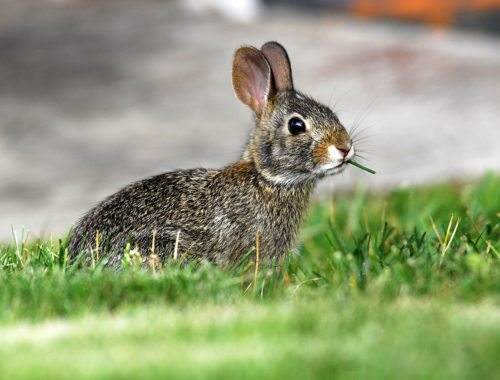 rabbits as a common garden pest