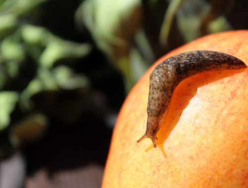 slugs as garden pests