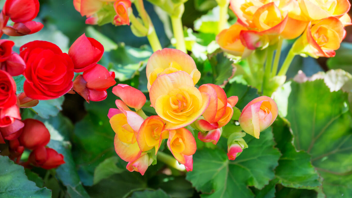 Begonias in the garden