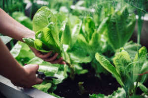 Close-up of a female hands cutting a plant with pruning shears in her vegetable garden.