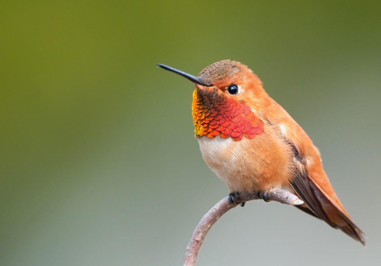 How to make a hummingbird feeder for Rufous