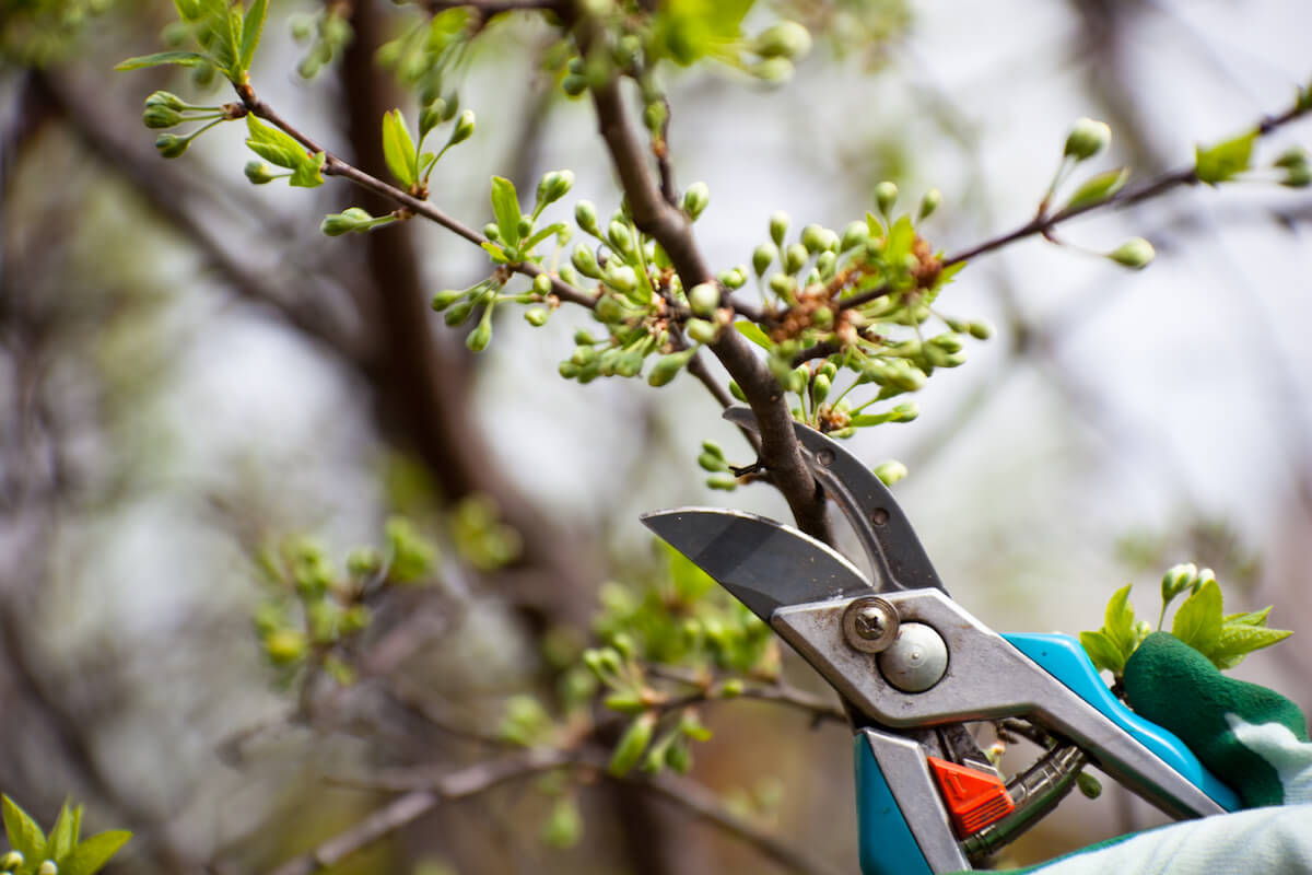 Clippers pruning bush.