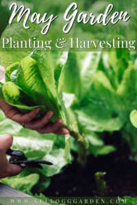 """Close-up of a female hands cutting a plant with pruning shears in her vegetable garden with text, 'May garden planting and harvesting"""""""