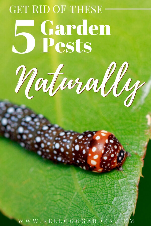 "Cutworm on a leaf with text, ""get rid of these 5 garden pests naturally"""