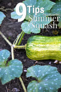 """Squash growing in garden with text, """"9 Tips for growing summer squash"""""""