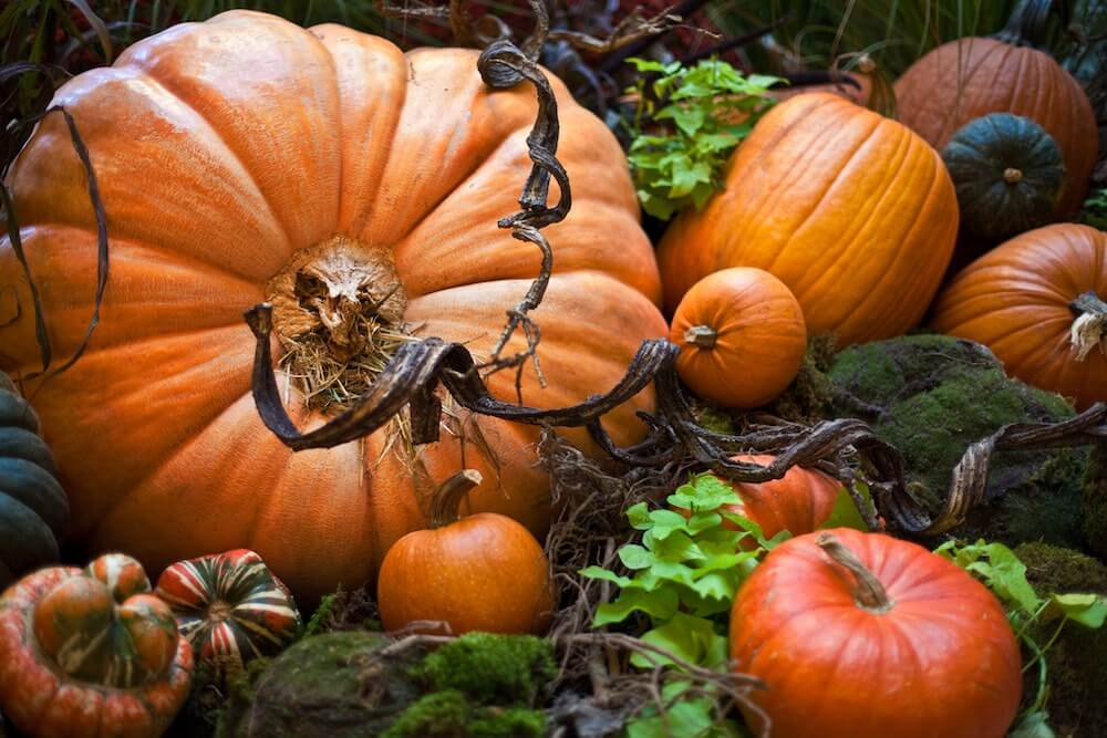 huge orange pumpkin and vine